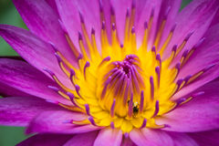Violet lotus and small bee Royalty Free Stock Photography
