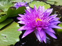 Violet lotus. Splay on the water Stock Image