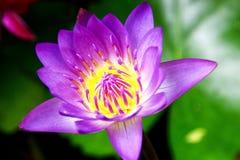 Violet lotus. Thailand violet lotus that on blooming Stock Image
