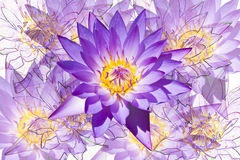 Violet lotus with violet lotus background. Stock Photography