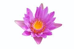 Violet lotus. On white background Stock Image