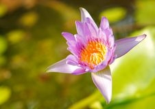 Violet lotus in sunlight Royalty Free Stock Photography