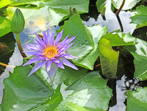 Violet Lotus or Water Lily. Violet lotus blossom or water Lily flower blooming stock image
