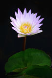 Violet lotus water lily in a pond. With the black background Royalty Free Stock Images