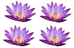 Violet lotus on white background Royalty Free Stock Photo