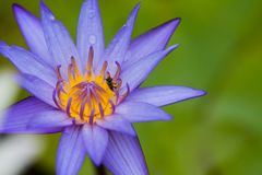 A violet lotus with yellow carpel in green blur leaf back ground.  Royalty Free Stock Photo