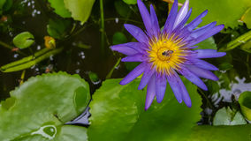 Violet Lotus Stock Photo