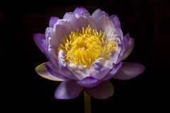 Violet Lotus. Violet with yellow pollen on black background Royalty Free Stock Photography