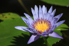Violet Lotus. With yellow pollen in the pond. It's tthe sign of respect to buddha for buddhist in buddhism Royalty Free Stock Photo