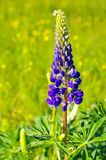Violet lupine Stock Photography