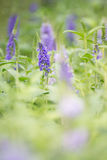 Violet lupine flower. In garden Stock Photos