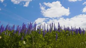 Violet lupine flower on sky background stock video footage