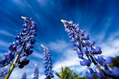 Violet Lupine Flowers Royalty Free Stock Photography