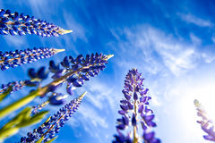 Violet Lupine Flowers Stock Photo