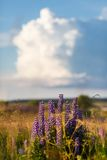 Violet lupine flowers Royalty Free Stock Photo