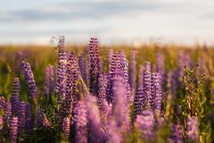 Violet lupine flowers Royalty Free Stock Image