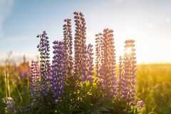 Violet lupine flowers Stock Image