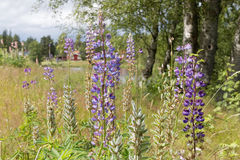 Violet lupine flowers, grass, trees and red house in the backgro. Und Stock Image