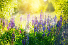 Violet lupines flowers over green background at summer day , out Royalty Free Stock Photography