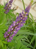 Violet lupines Stock Photo