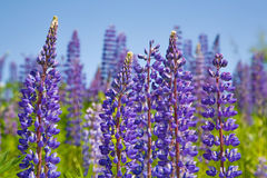 Violet lupins Stock Image
