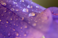 Violet. Macro of a violet flower after a rain Stock Photos