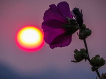 Violet mallow and sun. The sun and a violet mallow on a summer sunset in Dubrovnik, Croatia Stock Images