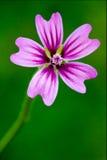 Violet malva. Violet flower malva alcea moschata sylvestris lavatea arborea  punctata  thuringiaca Stock Image