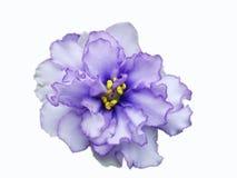 Violet Marble Apollo Singl Arkivbild