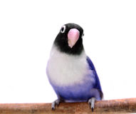 Violet masked lovebird Stock Images