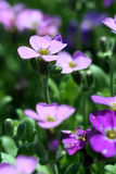 Violet meadow. Violet flowers - focus on the upper left flower, rest going out of focus Royalty Free Stock Image