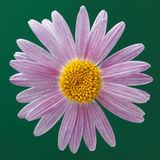 Violet Michaelmas Daisy Royalty Free Stock Photography