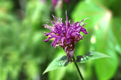 Violet Monarda flower Stock Photography