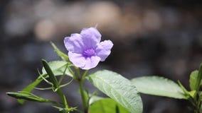 Violet morning glory flower stock video