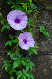 Violet Morning Glory Flowers. Two violet Morning Glory Flowers Royalty Free Stock Photography
