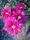 Violet Mums. Flowers garden nature plants colorful royalty free stock photography