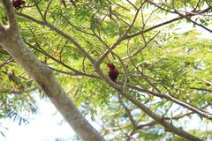 Violet-necked lory in Morotai Island, Indonesia Royalty Free Stock Photos