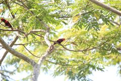 Violet-necked lory in Morotai Island, Indonesia Stock Photo