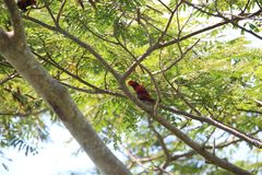 Violet-necked lory in Morotai Island, Indonesia Royalty Free Stock Photography