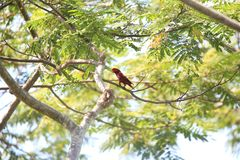 Violet-necked lory in Morotai Island, Indonesia Stock Image