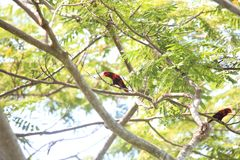 Violet-necked lory in Morotai Island, Indonesia Royalty Free Stock Photo