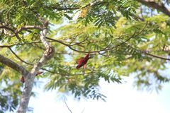 Violet-necked lory in Morotai Island, Indonesia Royalty Free Stock Image