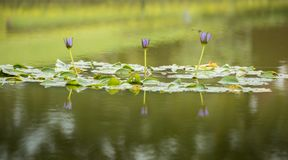 Violet Nymphaea lotus flowers reflection on the water.  royalty free stock photography