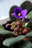 Violet och solljus Arkivfoto