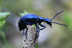 Violet oil beetle. On the grass Royalty Free Stock Photos