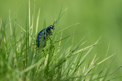 Violet oil beetle Royalty Free Stock Photo