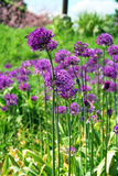 Violet onions Royalty Free Stock Images