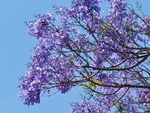 Violet opposite blue in the Australian nature Royalty Free Stock Photos