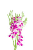 Violet Orchid Stock Image