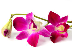 Violet orchid Stock Photos